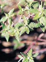 Fernbush Leaves